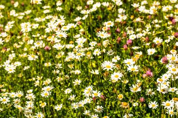 marguerite, flowers in a meadow in spring in Germany