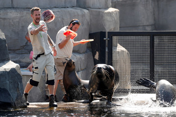 Caretakers throw ice to sea lions at the Paris Zoological Park in the Bois de Vincennes in the east of Paris, as a heatwave hits much of the country