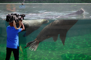 A cameraman films sea lions at the Paris Zoological Park in the Bois de Vincennes in the east of Paris, as a heatwave hits much of the country