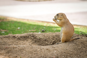 the gopher is watching out for somebody