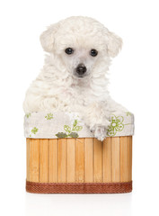 Poodle puppy posing in basket
