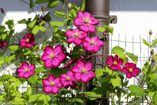 Magenta clematis flowers as blind