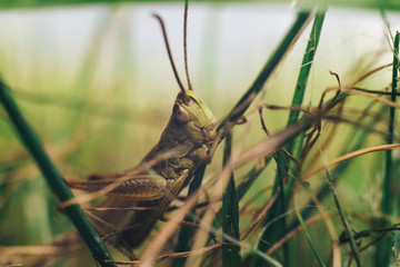 Grasshopper skipjack  in the grass close up. A green grasshopper. Macro view.