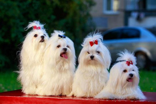 Cute maltese dog