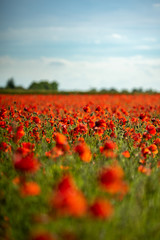 Field of Poppies on a Sunny Day - Portrait