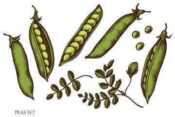 Fototapeta Vector set of hand drawn colored peas obraz