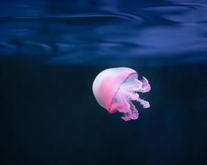 Wall Mural - purple jellyfish rhizostoma pulmo underwater
