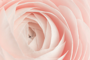Pink colored feminine peony, rose or buttercup flower with delicate layered petals close up. Natural textured spring or summer background for Mothers, Valentines or Women's Day Wall mural
