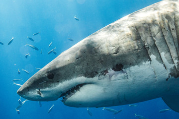 Great White Shark in Guadalupe Mexico