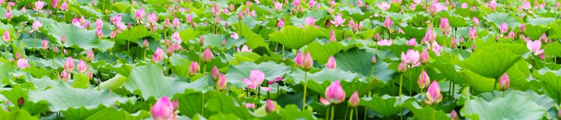 Wall Murals Lotus flower panoramic view of lotus flowers in a pond