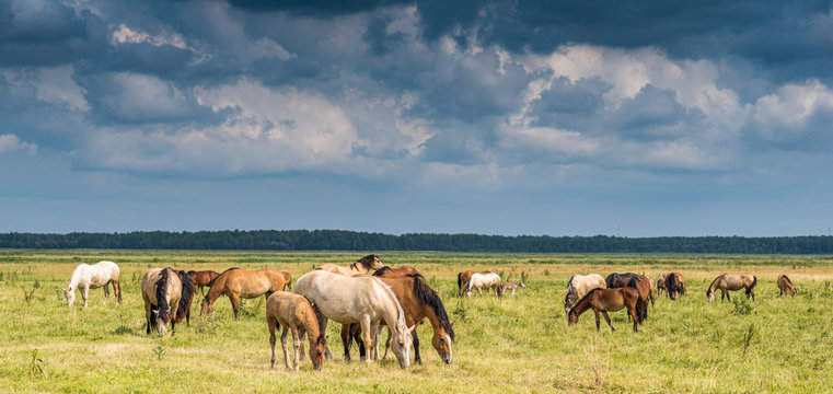 Herd of horses grazing on the field.