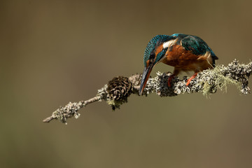Wall Mural - Female Kingfisher perched on a stick with a brown background looking down to fish.