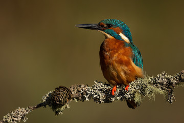 Wall Mural - Male Kingfisher perched on a branch with a green and brown blurred background.