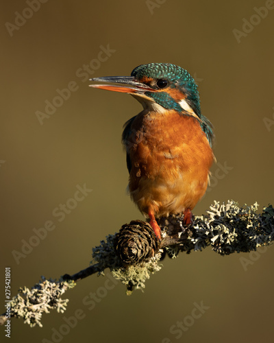 Wall mural Close up off a Female Kingfisher perched on a branch in golden light with a brown background.