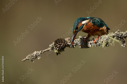 Wall mural Female Kingfisher perched on a stick with a brown background looking down to fish.
