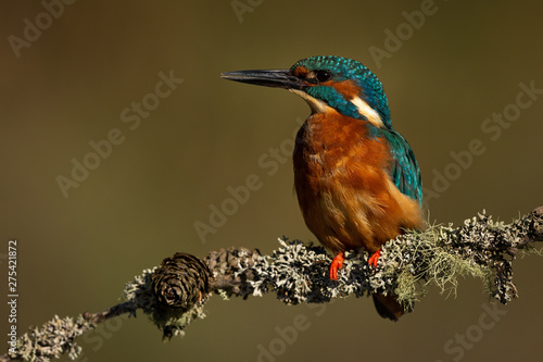 Wall mural Male Kingfisher perched on a branch with a green and brown blurred background.
