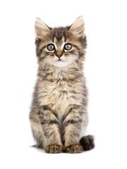 brown kitten on a white