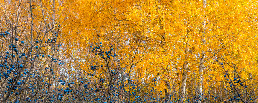 Autumn panoramic natural background - blackthorn berries on a background of autumn forest, trees with yellow leaves