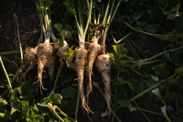 Harvested radish in field