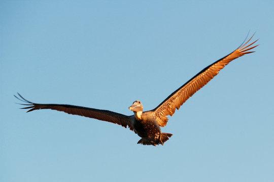 USA. Florida. The Keys. Marathon Island. Pelican flying.