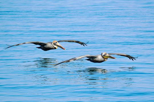 USA. Florida. The Keys. Marathon Island. Pelicans flying above the sea.