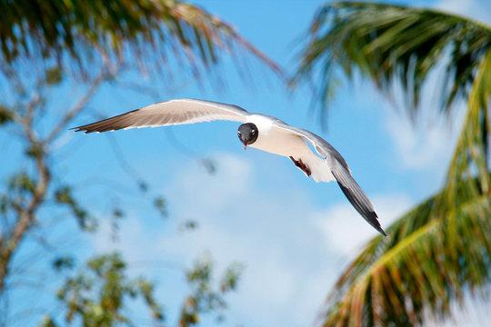USA. Florida. The Keys. Marathon Island. Sombrero beach. Seagull flying.