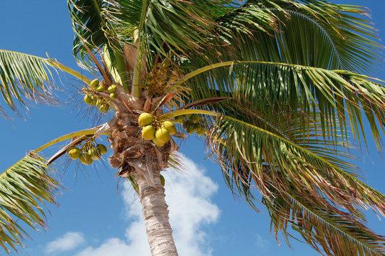 USA. Florida. The Keys. Marathon Island. Sombrero beach. Coconut palms and coconut.