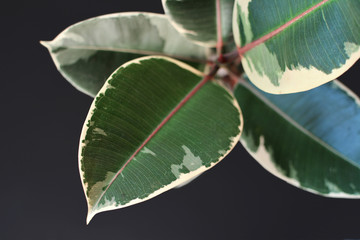 Leaf of exotic a 'Ficus Elastica Variegata' rubber tree plant on dark black background
