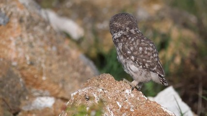 Fototapete - Young little owl (Athene noctuastands on a stone spreads its wings and breathes heavily because of the heat.