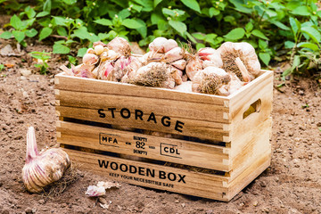 Front view of wooden box containing garlic in a