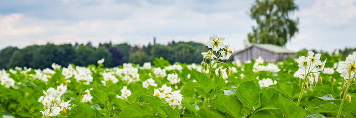 Banner with white blooming potato field with a wooden shed in the background in the Netherlands