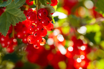 Red currants on the bush branch in the garden.