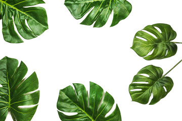 Tropical pattern with green leaves Monstera, Swiss Cheese Plant, isolated, on white background. Flat lay, top view, copy space.