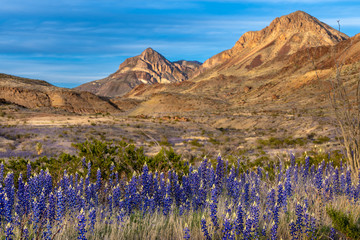 Blue bonnets along the roadside with mountains in the background