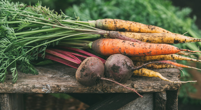 Carrots and beets in the garden.