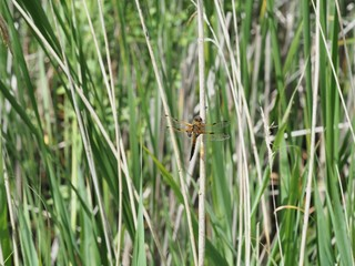 Male broad bodied chaser dragonfly