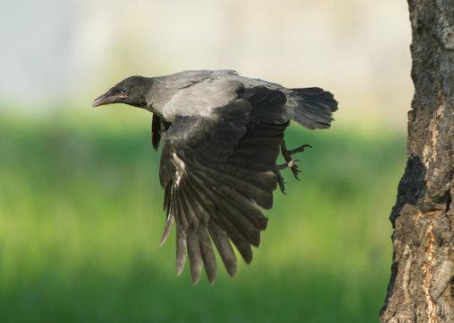 Young Hooded crow (Corvus cornix) in flight