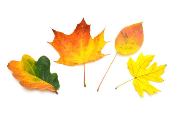 Fototapete - Collection autumn leaf multicolored maple, oak and other isolated on white background. Falling foliage. Flat lay, top view, creative concept