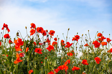 Foto auf Acrylglas Mohn beautiful poppy field- Armistice or Remembrance day background