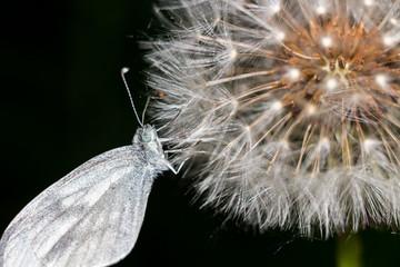 Wood white butterfly (Leptidea sinapis) on a dandelion closeup