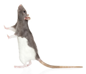 Rat stands on its hind legs and looks up