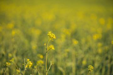 Rapsfeld in voller Blüte Fotoväggar
