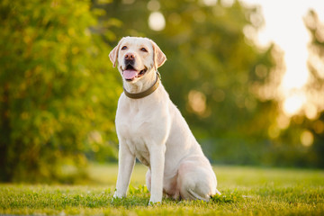 Happy purebred labrador retriever dog outdoors sitting on grass park sunny summer day