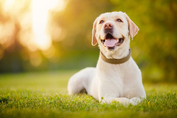 Active, smile and happy purebred labrador retriever dog outdoors in grass park on sunny summer day Fototapete