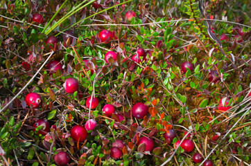 cranberries red berries background nature