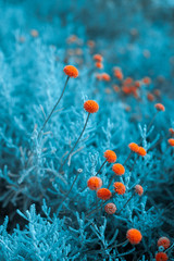 Craspedia  billy buttons flowers in garden infrared colors  closeup selective focus background