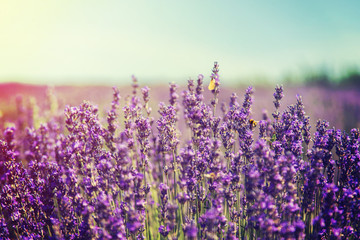 Photo sur Aluminium Lavande Blooming lavender field. Summer flowers. Selective focus.