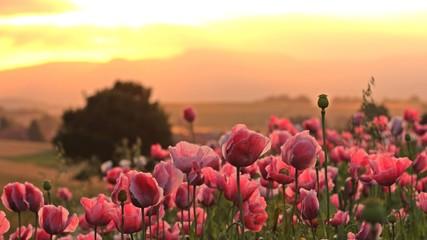 Schlafmohnblüte (Papaver somniferum) in Germerode bei Sonnenaufgang