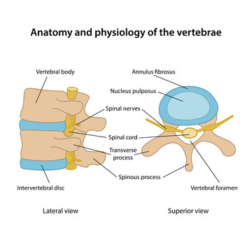 Anatomy and physiology of the vertebrae. Human vertebrae in superior and lateral views with main parts labeled. Vector illustration