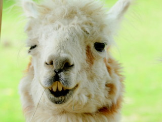 Photo sur Plexiglas Lama Funny Lama Portrait